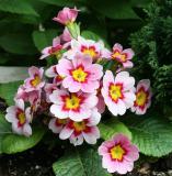 Primroses or Primula