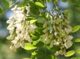 Black Locust Tree Blossoms