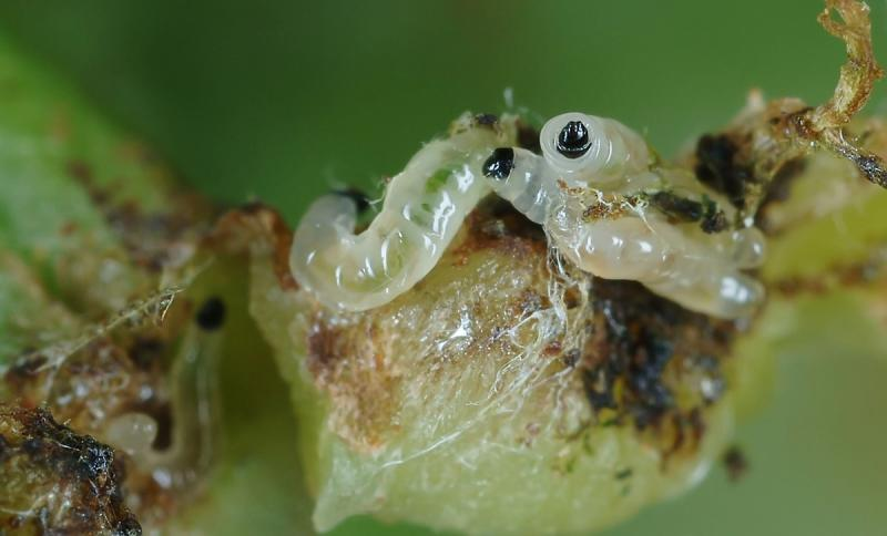 Sciaridae.jpg