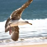 Gull of my Dreams