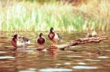 Drake mallard ducks