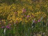 Calopogon tuberosus and Utricularia cornuta