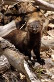 Fisher in Woodpile
