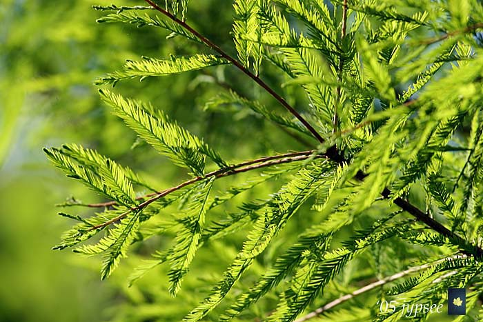 cypress needles