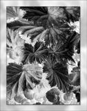 Black & White I (Begonias)