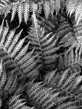 Black & White VII (Ferns)