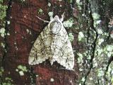 Yellow-haired Dagger Moth (Acronicta impleta) {Acronictinae}