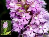 purple-fringed-orchis-b-548.jpg