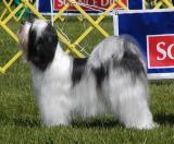 2005 Ottawa Kennel Club Dog Show Tibetan Terriers