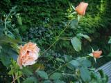 Early morning roses