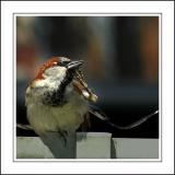 Sparrow scratching, Widecombe-in-the-Moor, Devon