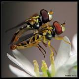 Hoverflies Mating on a flower