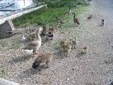 Family  friends out for a waddle.jpg(185)