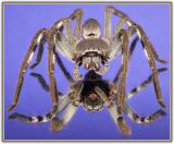 MC16: Small Worlds - Huntsman Spider by John down under