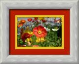 icelandic poppies-framed