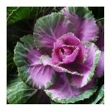 cabbage ripple.jpg