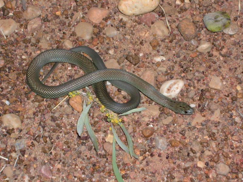 King brown Pseudechis australis