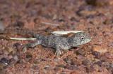 _DSC8627 reptile lizard dragon hatchling earless dragon tympanocryptis sp moorinya