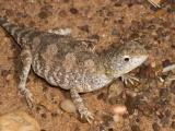 _DSC9075 reptile earless dragon tympanocryptis sp moorinya