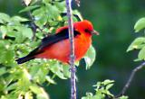 Scarlet Tanager - Dauphin Island - 05