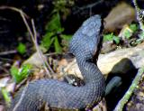 Cottonmouth -