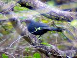 Blue Mockingbird - 3-14-05