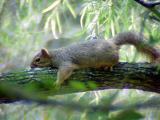 Fox Squirrel - just resting