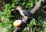 Golden-fronted Woodpecker - San Ignacio