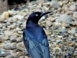 Great-tailed Grackle - 10-2-04 TX