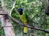Green Jay - 10-25-04 Rio Grande