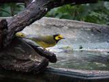 Hooded and Wilson's Warblers -10-25-04