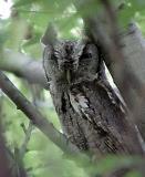 Screech Owl - Pharr- TX.