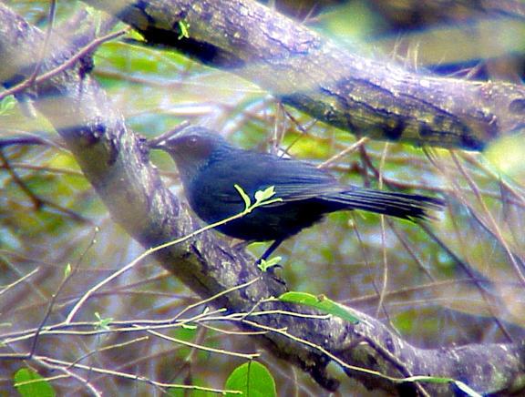 Blue Mockingbird - 3-14-05