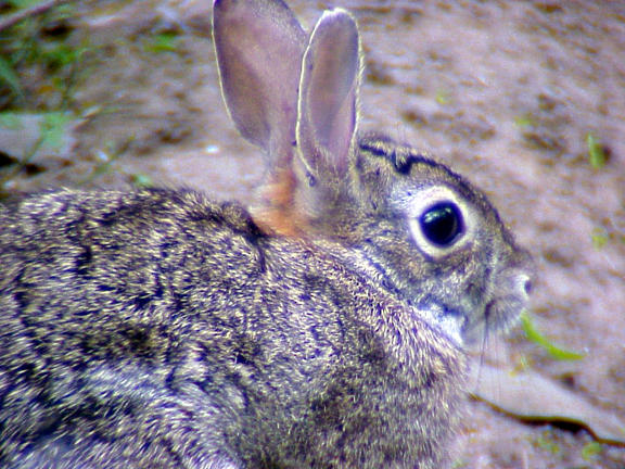 Cottontail Rabbit -