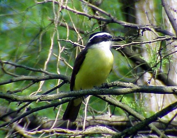 Kisskadee - with nesting material