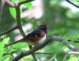 Towhees, Sparrows, and Cardinals