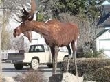 P1020383 Dillon moose.JPG