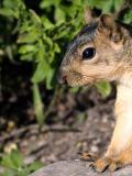 Squirrel 100% crop