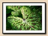 7435 caladium leaves copy.jpg