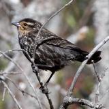 2005-05-21: Female Red-Wing Blackbird