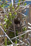 2005-05-23~ Red-Wing Blackbird Nest