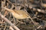 Black-browed reed warbler C20D_02635.jpg