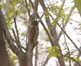 Brown hawk owl C20D_03861.jpg