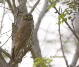 Brown hawk owl C20D_03891.jpg