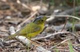 Grey-crowned warbler C20D_03972.jpg