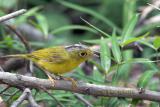 Grey-crowned warbler C20D_03976.jpg
