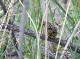 Lanceolated warbler C20D_03643.jpg