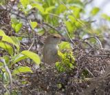Manchurian bush warbler C20D_03364.jpg
