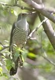Oriental or Common cuckoo C20D_03210.jpg