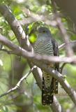 Oriental or Common cuckoo C20D_03214.jpg